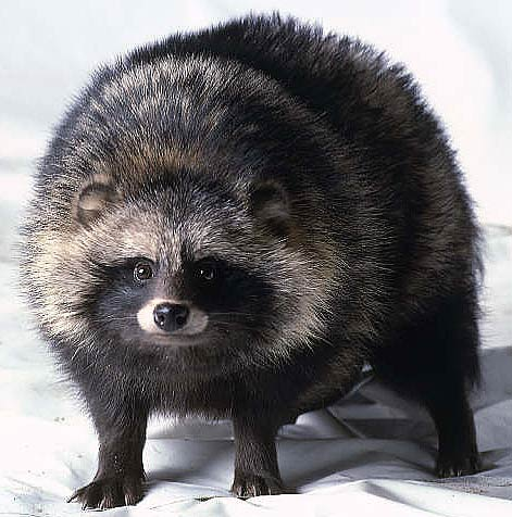 not a raccoon