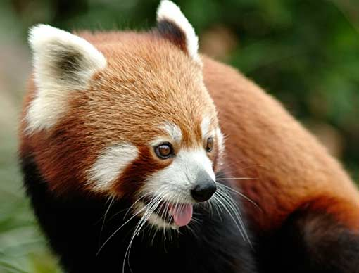 Red Pandas | Animal Pictures and Facts | FactZoo.com