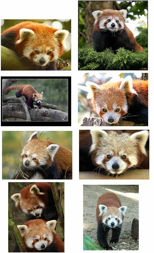 Red Pandas Animal Pictures and