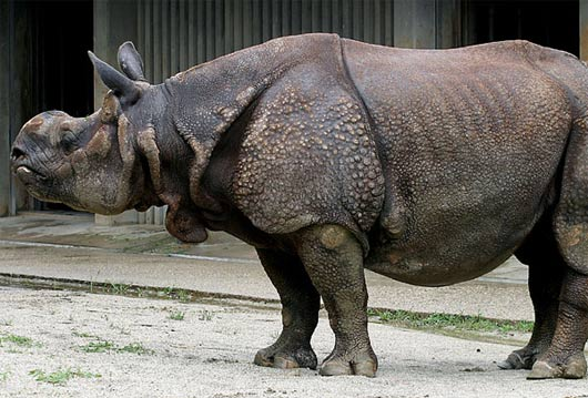 http://www.factzoo.com/sites/all/img/mammals/rhino/big-rhinoceros.jpg