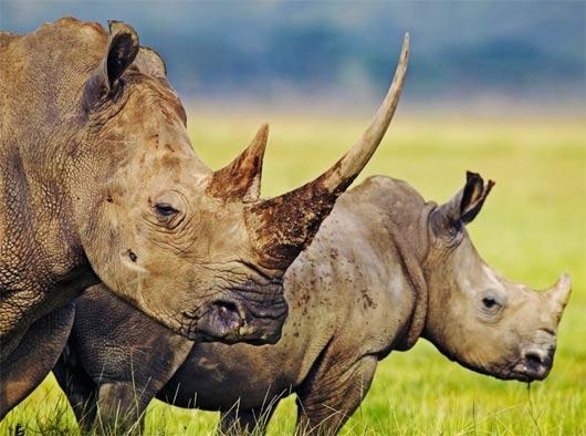 large rhinos