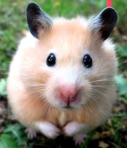 biege hamster black ears