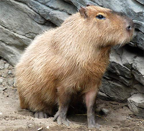 Capybara - The World's Largest Rodent | Animal Pictures ...