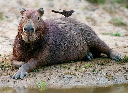 Capybara The World S Largest Rodent Animal Pictures