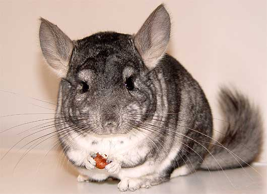 chinchilla eating looking smart