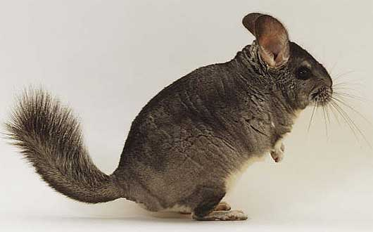 chinchilla profile