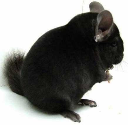 Black Cat Have The Softest Fur