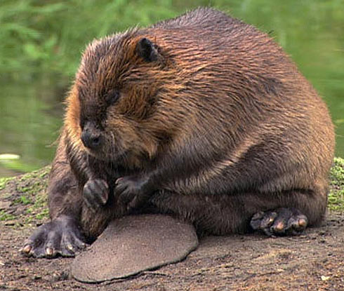 Due to there small ocular cavities and nocturnal lifestyle beavers have