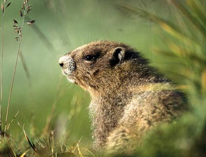woodchuck chuck in the grass