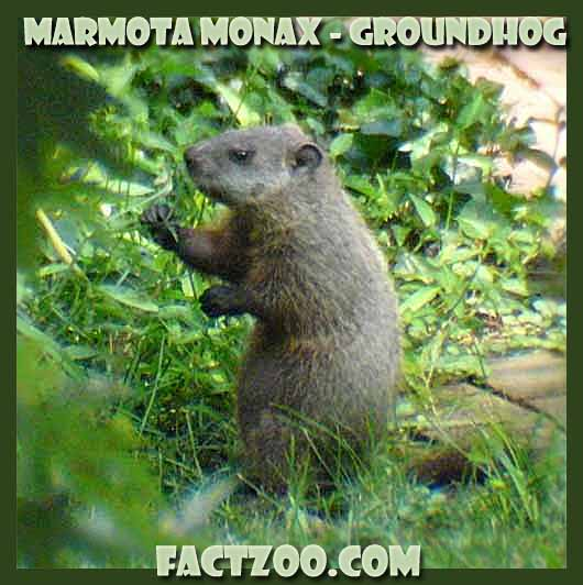 how much would a woodchuck chuck