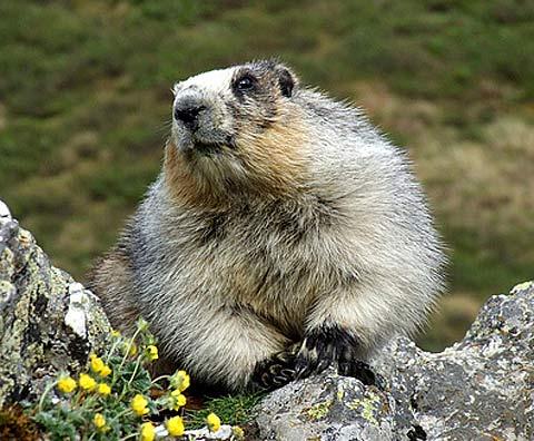 hoary marmot dramatic light