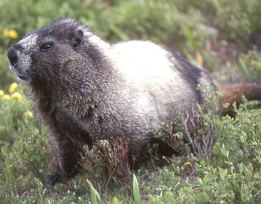 hoary marmot handsome