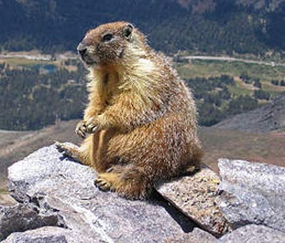 hoary marmot on lookout