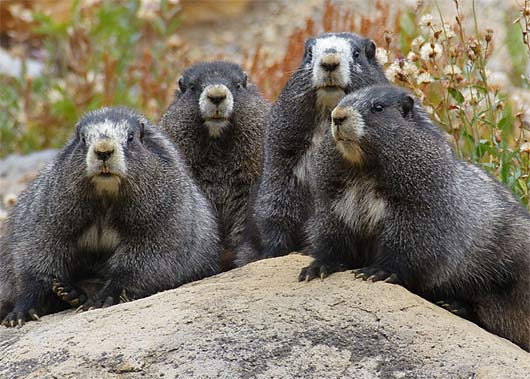 hoary marmots groud squirrels