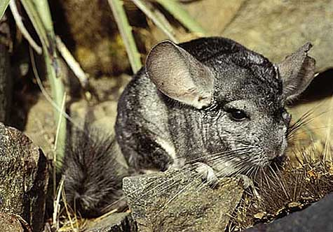 outdoor chinchilla