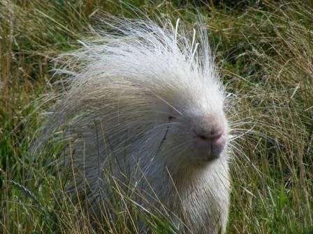 albino crested
