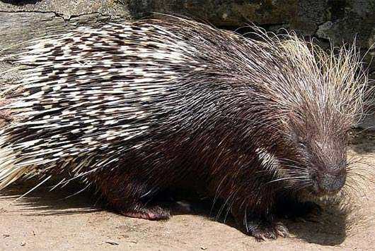 Porcupines - Old and New World Rodents with Quill Defense | Animal ...
