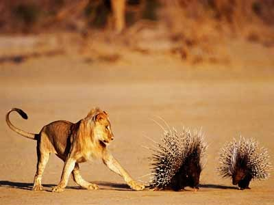 Lion and Porcupine Showing Their Animal Defenses