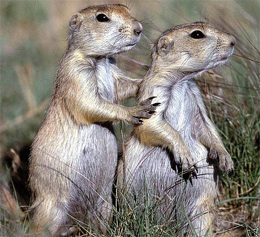 Do Prairie Dogs Eat Their Babies