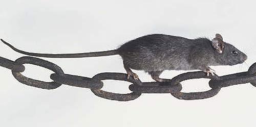 ship rat climbing