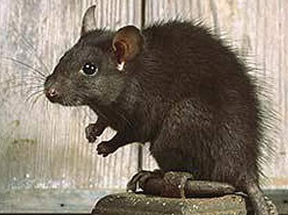 rattus rattus ship rat