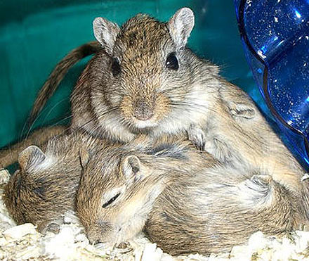 Gerbil - Not Just a Desert Rat | Animal Pictures and Facts