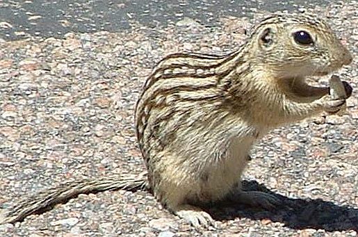 13 striped rodent