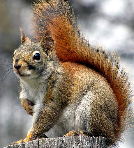 the predators of eastern grey squirrels Predators threaten squirrels squirrels have many predators including large snakes, weasels, coyotes, the red foxes, and raccoons also large birds such as hawks, falcons, eagles, and owls are notorious for swooping down and carrying off squirrels.