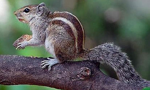 squirrels big family of alert short faced rodents animal