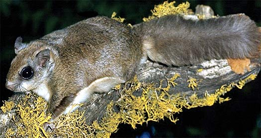 Apologise, but, Rodent hairy tail grey simply matchless