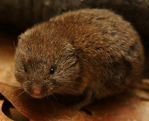N American Rodents found in North America