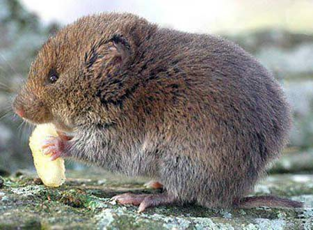 [Image: vole-eating-rocks.jpg]