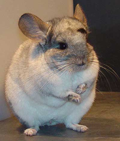 white chinchilla standing