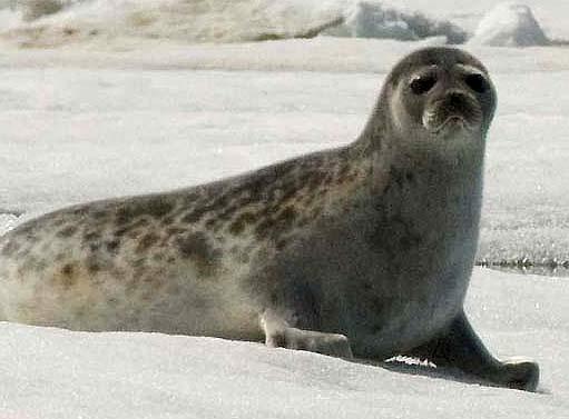 beige ringed seal