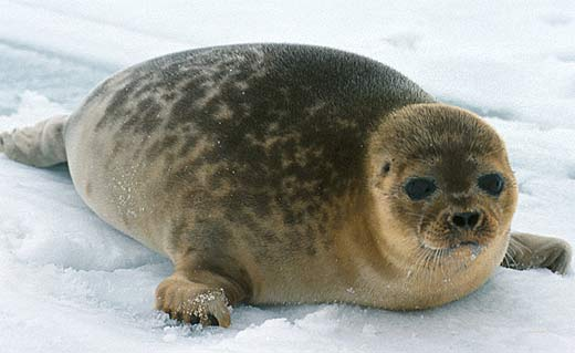 brown ringed seal