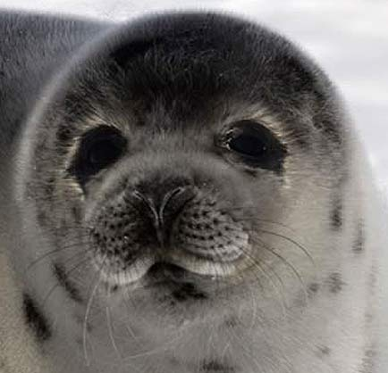 closeup ringed seal