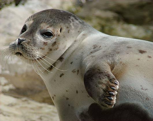 harbor juvenile seal