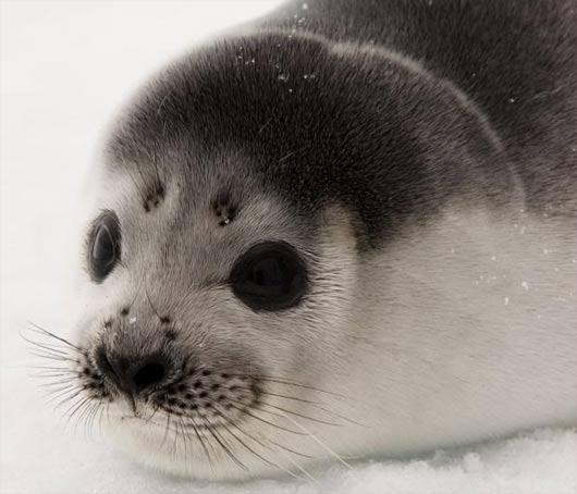 young ribbon seal