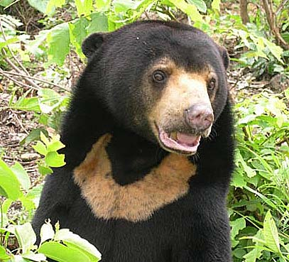 SUN BEAR - The Dog Bear, Asian Bear | Animal Pictures and Facts.