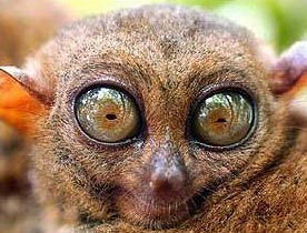 tarsiers the big eyed ancient nocturnal mammal animal pictures