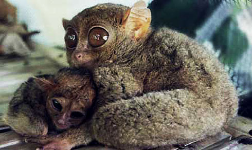 Tarsiers - The Big-Eyed, Ancient, Nocturnal Mammal | Animal
