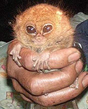 pygmy tarsier