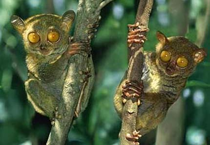 pygmy tarsiers