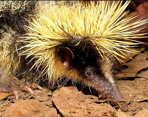 streaked tenrec yellow black head