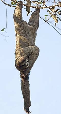 sloths the sleepiest of all creatures animal pictures and facts