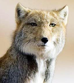 http://www.factzoo.com/sites/all/img/mammals/tibetan-fox-square-head.jpg