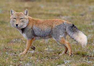 tibetan fox trotting along