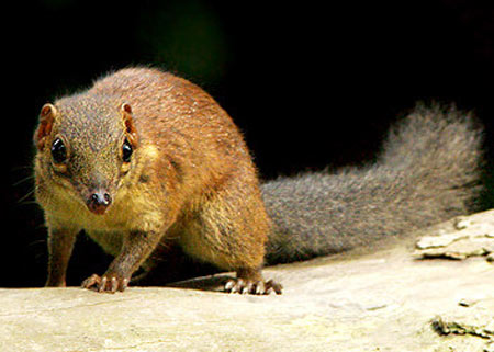 common treeshrew looking like squirrel