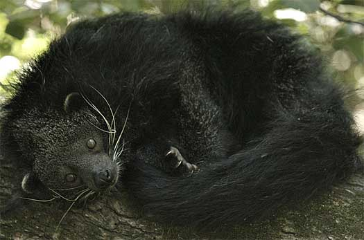 curled up bearcat