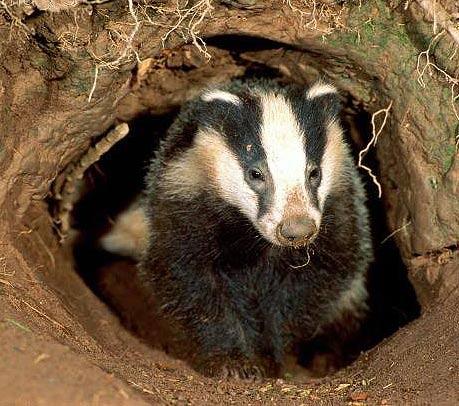 home badger